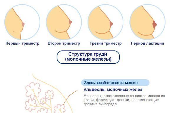 Когда начинает расти грудь при беременности и насколько она увеличивается? | здоровье мамы | vpolozhenii.com
