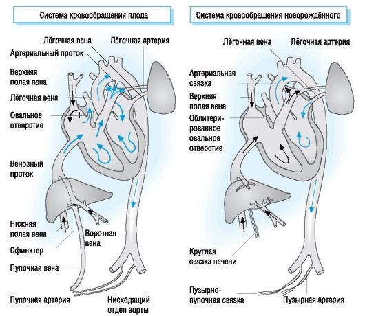 Кровообращение плода. размеры плода. особенности кровообращения у человеческого плода: анатомия, схема и описание гемодинамики