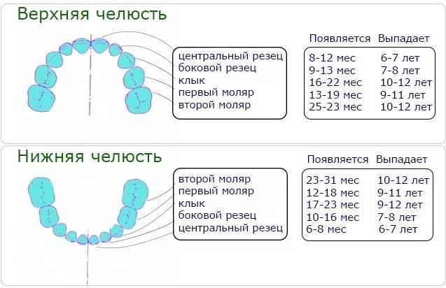 Схема выпадения молочных зубов у детей: график, когда начинают выпадать, сколько раз выпадают