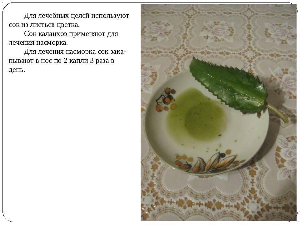 Применение сока каланхоэ при гайморите: рецепты приготовления