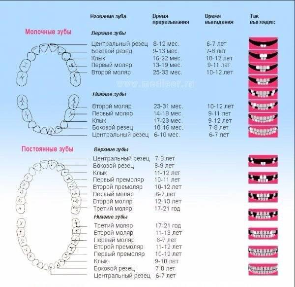 Схема прорезывания зубов у детей: порядок, сроки и симптомы (таблица с графиком)   spacream.ru