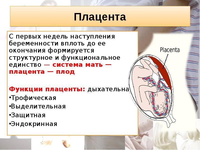 Когда формируется плацента при беременности: сроки и особенности процесса   плод   vpolozhenii.com