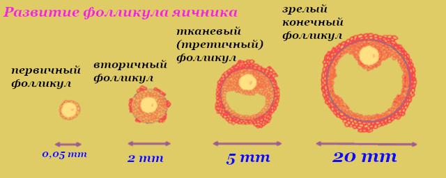 Размер фолликула при овуляции по дням цикла для зачатия