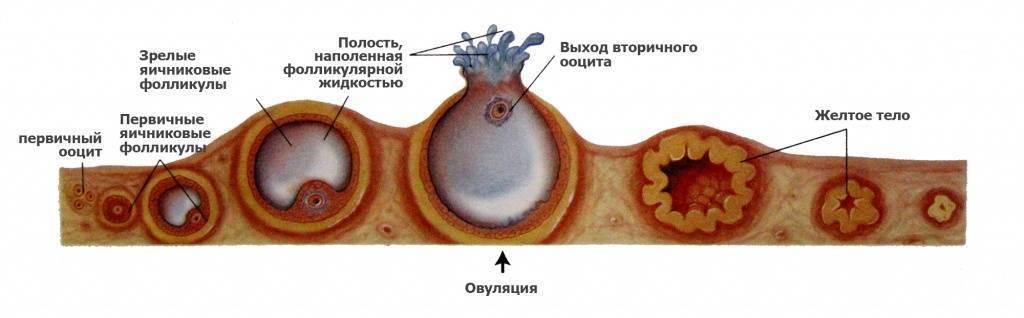 Узи фолликулометрия: как делают, что это, как выглядят фолликулы на узи?