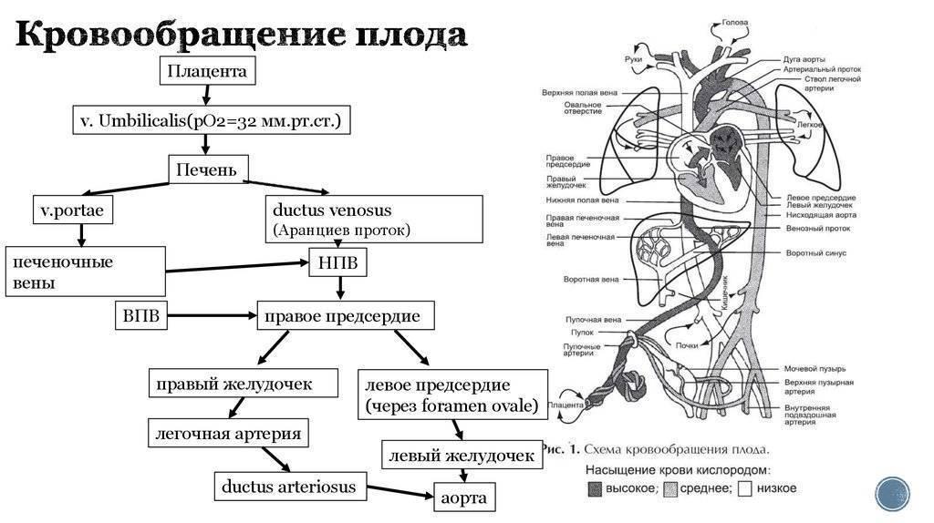 Кровообращение плода: схема и описание, анатомия, особенности, нарушения - здоровье
