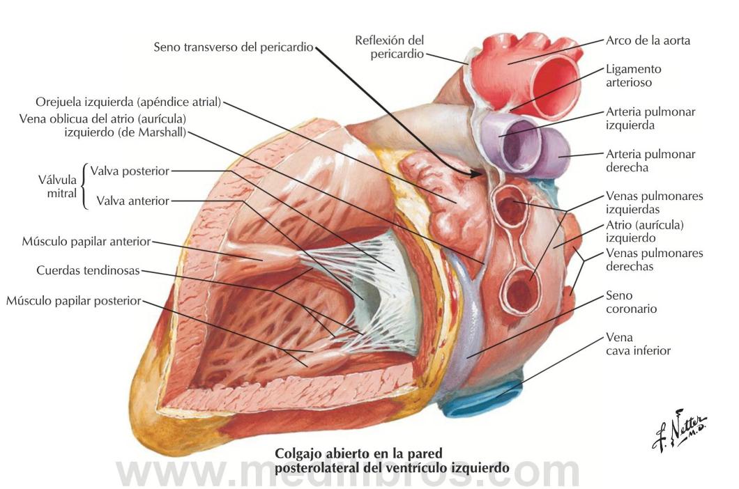 Дополнительная хорда (трабекула) левого желудочка сердца: понятие, прогноз