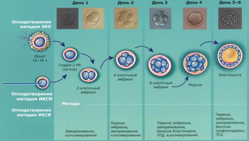 Подготовка к криопереносу эмбрионов: условия и тактики