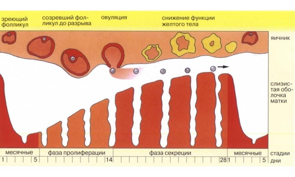 Месячные (менструация) 2 раза в месяц, причины, что делать