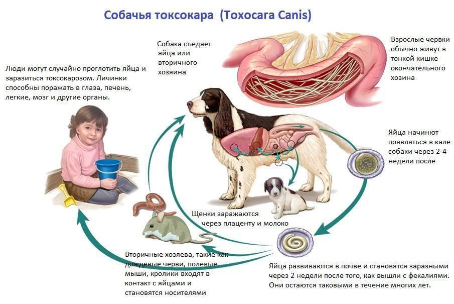 Токсокары симптомы и лечение у детей. токсокароз у детей   здоровье человека