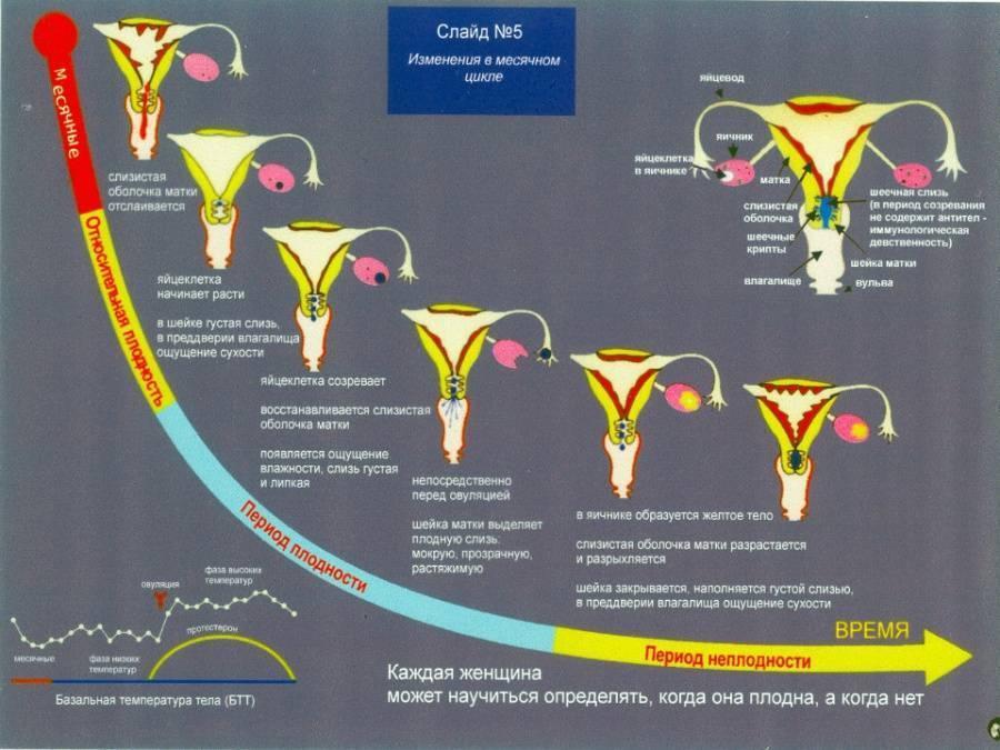 Изменения шейки матки в зависимости от фазы менструального цикла