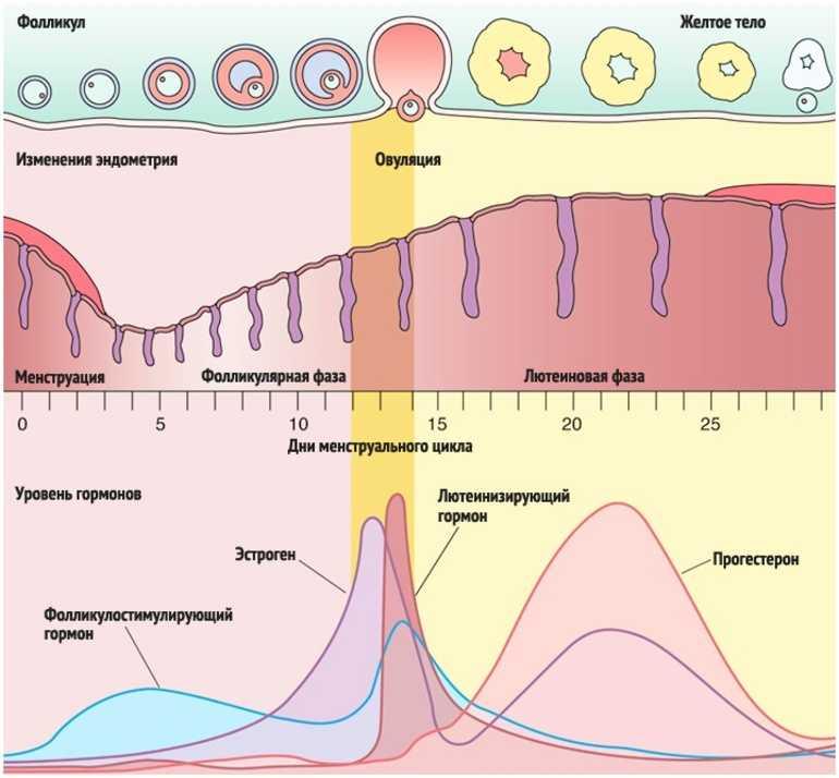 Как меняются размеры фолликулов в зависимости от дня цикла