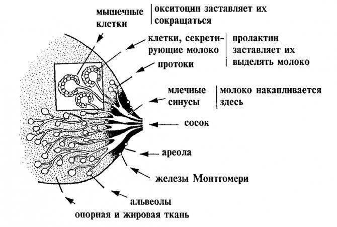 Симптомы заболеваний, диагностика, коррекция и лечение молочных желез — molzheleza.ru. период лактации у женщины: что это такое, этапы, правила поведения кормящей мамы период лактации у женщины: что это такое, этапы, правила поведения кормящей мамы