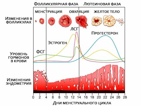 Тренировочный план в рамках менструального цикла — #sekta: информационный портал