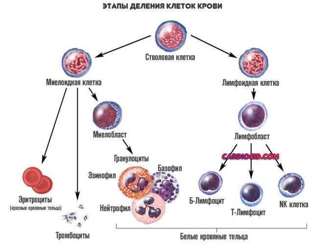 Плазматические клетки в крови у ребенка: что это значит в общем анализе?