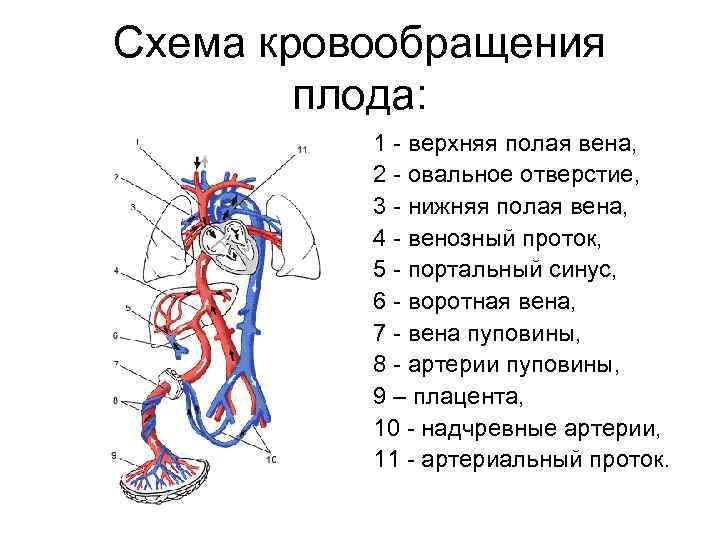 ✅ тезисный план кровообращение плода. особенности кровообращения у человеческого плода: анатомия, схема и описание гемодинамики. оно также содержит свои особенности - mariya-timohina.ru