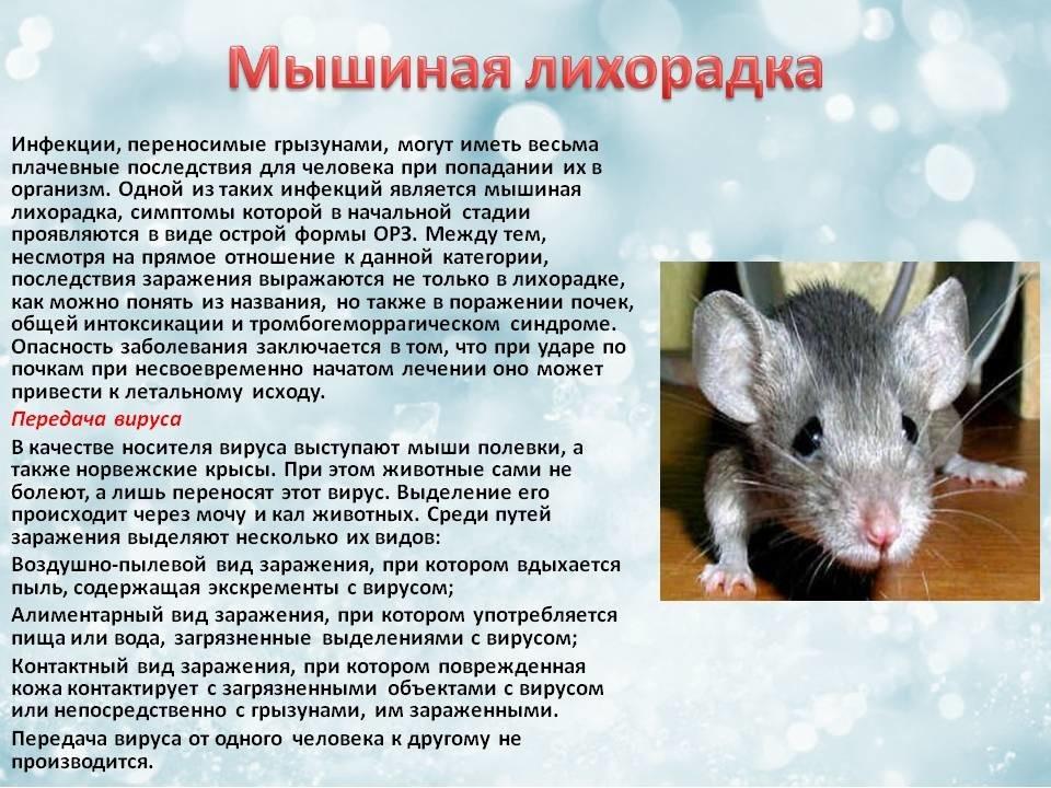 Симптомы мышиной лихорадки у детей 8 лет. симптомы и лечение мышиной лихорадки, последствия и профилактика болезни
