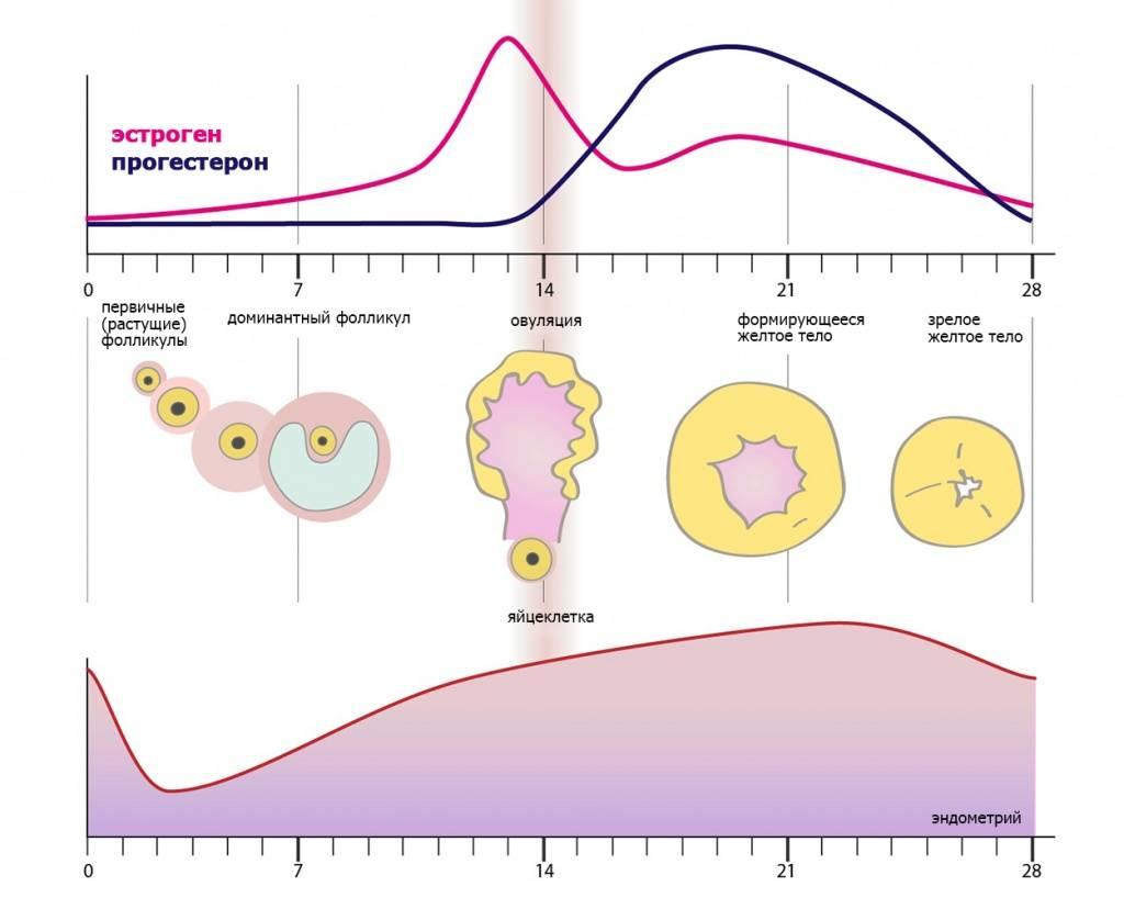 Какая норма эндометрий при беременности на ранних сроках?