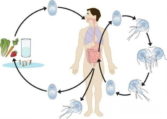 Как обнаружить и устранить лямблии в печени: основные симптомы и лечение