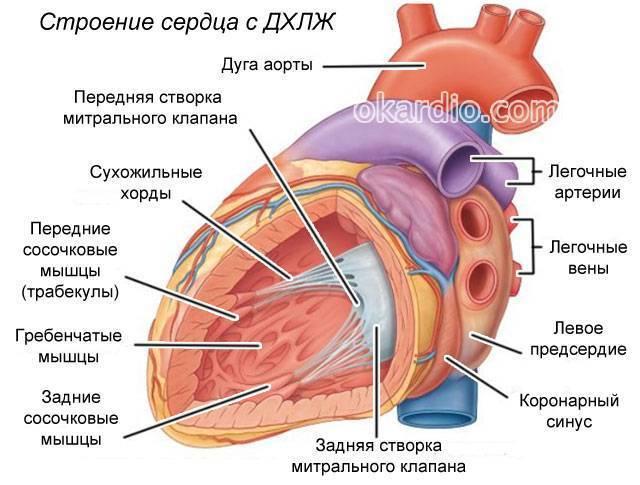 Дополнительная хорда левого желудочка в сердце у детей: что это такое, в чем опасность?
