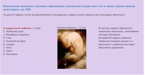 Беременность по неделям: развитие плода по неделям |  эко-блог