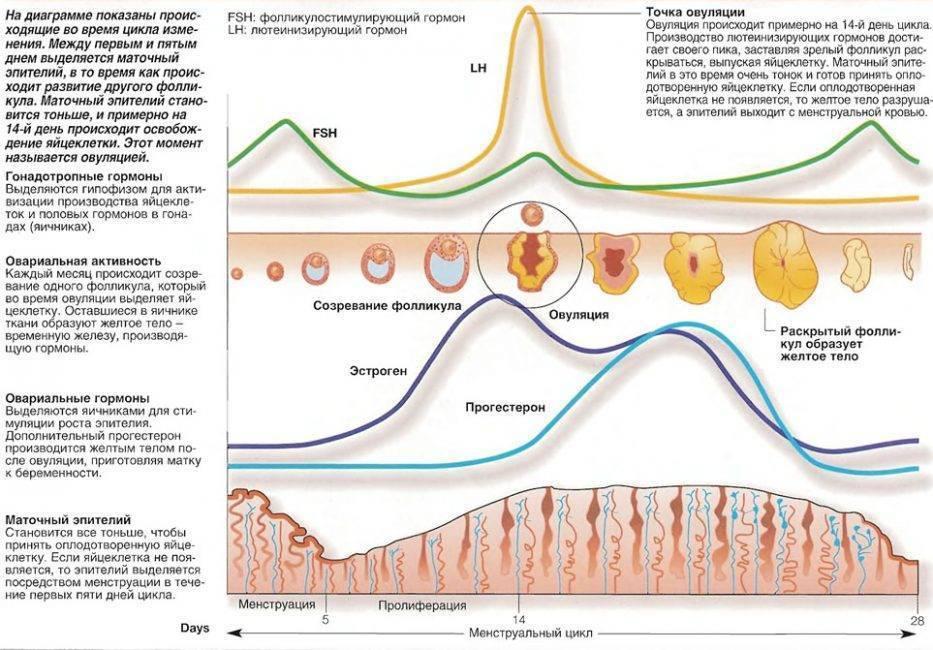 Толщина эндометрия: норма при зачатии, показания по дням цикла