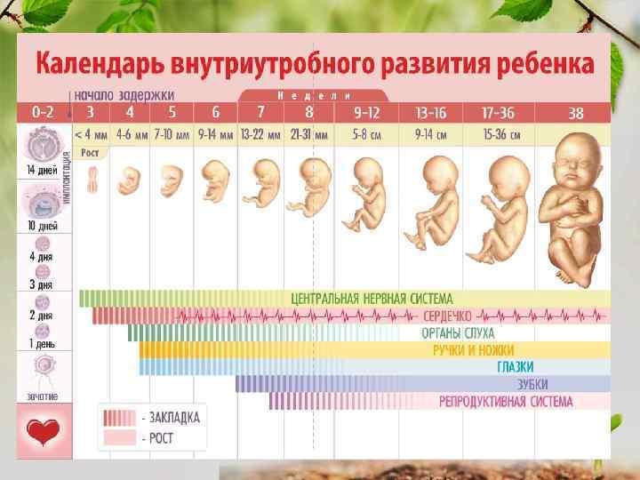 На какой неделе можно узнать пол ребенка по узи? 44 фото – узи на 12 неделе беременности, во сколько недель можно точно определить