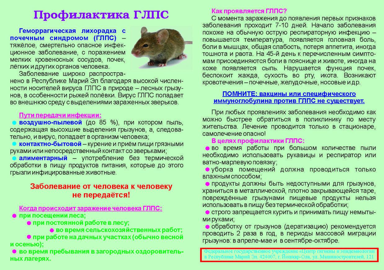 Глпс (геморрагическая лихорадка с почечным синдромом) или мышиная лихорадка: возбудитель, симптомы, лечение, профилактика. фото
