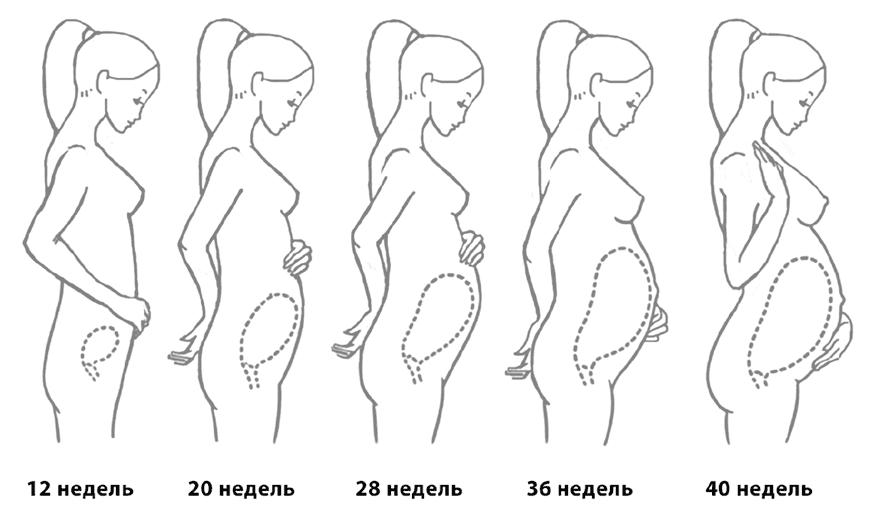 Длина шейки матки при беременности по неделям – таблица норм длины и размеров, какой должна быть в норме, может ли удлиниться, кольпоскопия, дисплазия и рыхлость
