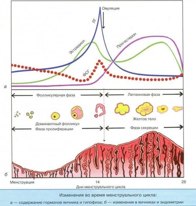 Недостаточность лютеиновой фазы менструального цикла: причины, симптомы, лечение