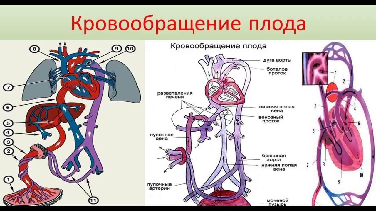 Тезисный план кровообращение плода. особенности кровообращения у человеческого плода: анатомия, схема и описание гемодинамики. оно также содержит свои особенности