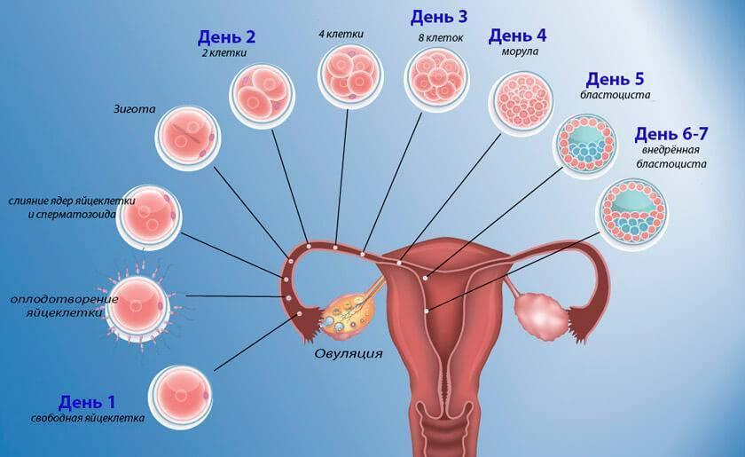 Развитие беременности, 2 неделя беременности.