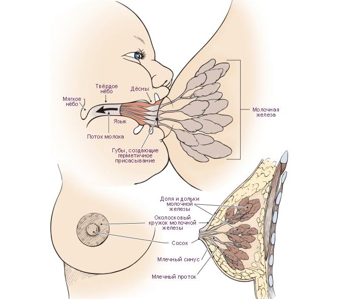 Что делать, если у кормящей мамы болит грудь?