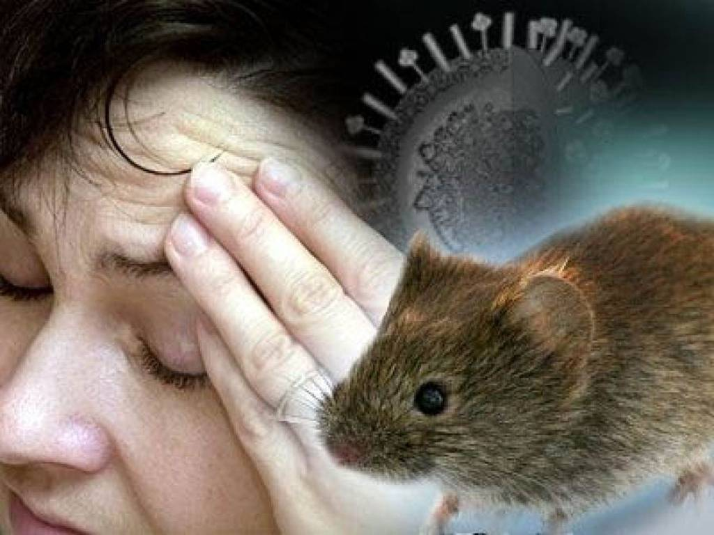 Симптомы и лечение мышиной лихорадки, последствия и профилактика болезни
