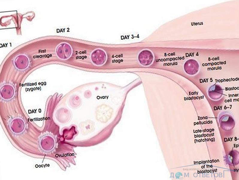 Вопросы зачатия: можно ли забеременеть после овуляции?