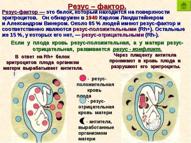 Резус-фактор, группа крови и зачатие – таблица совместимости резус-фактора при беременности. отрицательный и положительный резус-фактор у женщины