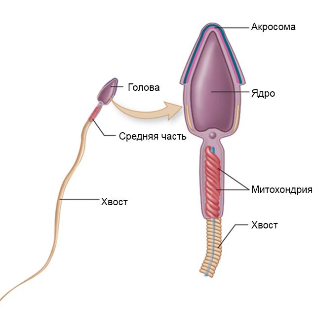 Сколько живут сперматозоиды в смазке. есть ли сперматозоиды в мужской смазке и можно ли таким образом забеременеть. может ли смазка оплодотворять