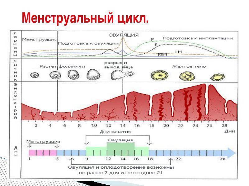 Размеры фолликула по дням цикла и при овуляции