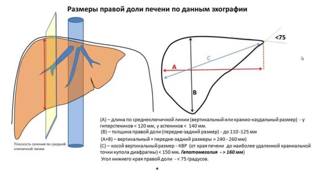 Размеры печени в норме по узи – таблицы и описание процедуры
