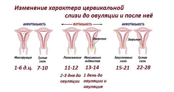 За сколько до месячных опускается шейка матки. изменения в матке в период менструации - новая медицина