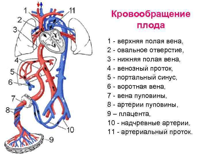 Кровообращение плода и новорожденного. желточный период. аллантоидное кровоообращение. плацентарное кровообращение.