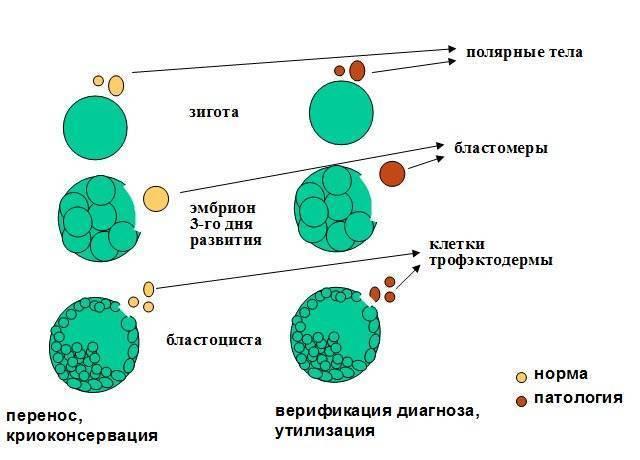 Качество эмбрионов при эко: классификация