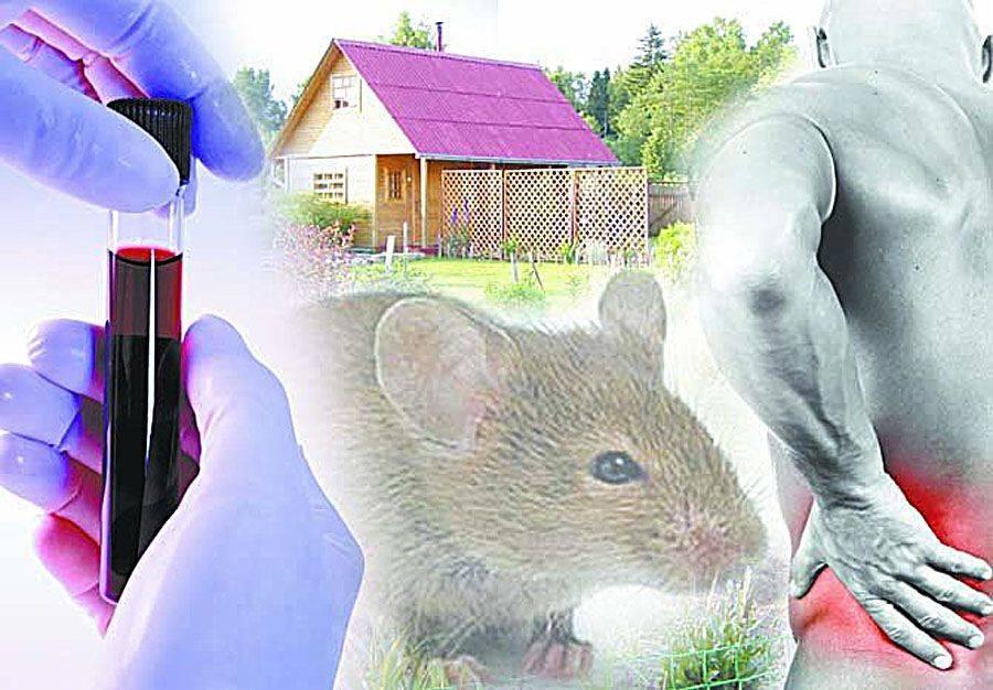 Мышиная лихорадка - симптомы и признаки болезни у взрослого и ребенка