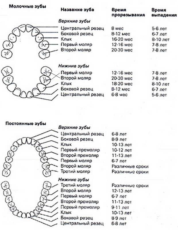 График прорезывания у детей молочных зубов