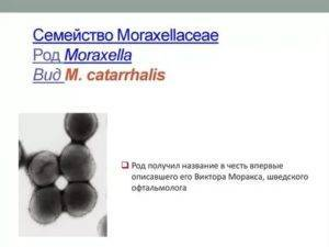 Моракселла, moraxella cataralis: что это, диагностика и лечение