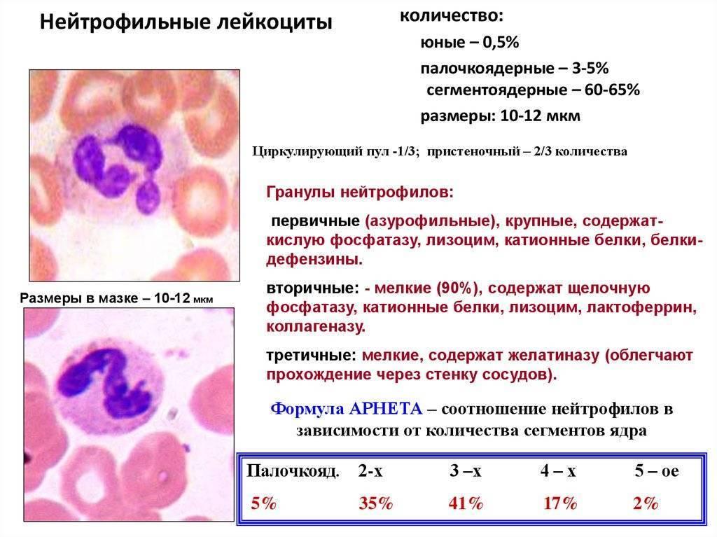 Лейкоцитоз: причины, симптомы и лечение