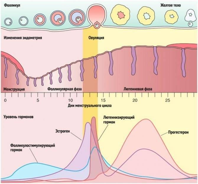 Может ли сбиться цикл менструации? разбираемся вместе!