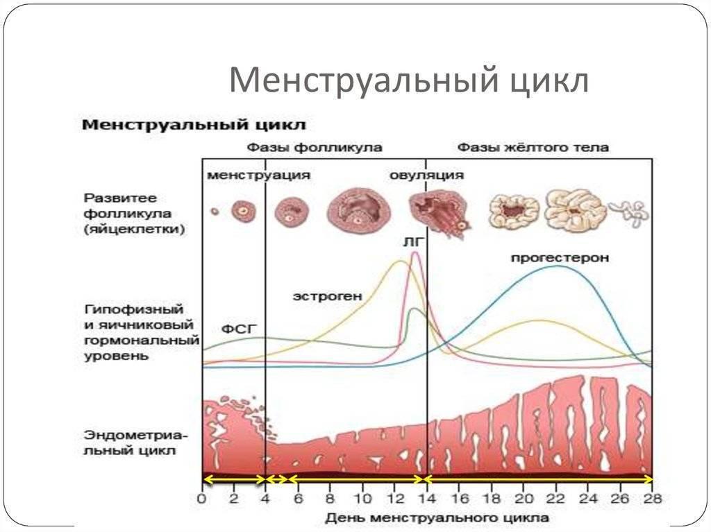 Базальная температура при месячных: нормы и отклонения