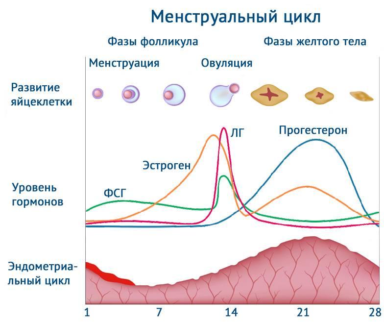 Прогестерон и фолликулярная фаза: норма, повышенный уровень прогестерона в фолликулярной фазе цикла, отзывы