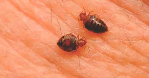❶ как домашние клопы кусают человека? как отличить укус клопа от укуса комара?