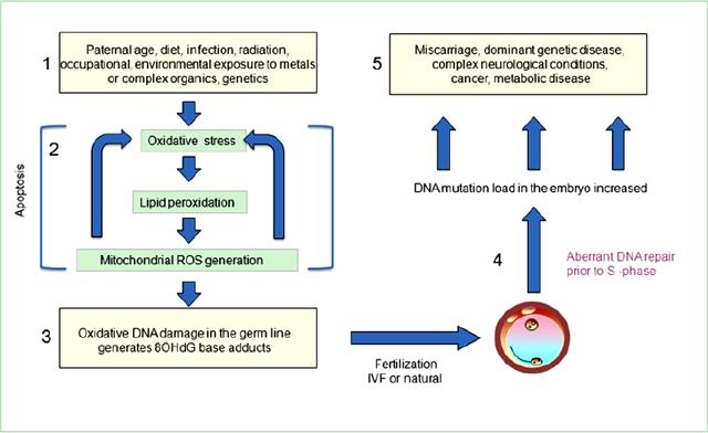 Фрагментация ДНК сперматозоидов в спермограмме: цель анализа, лечение патологии